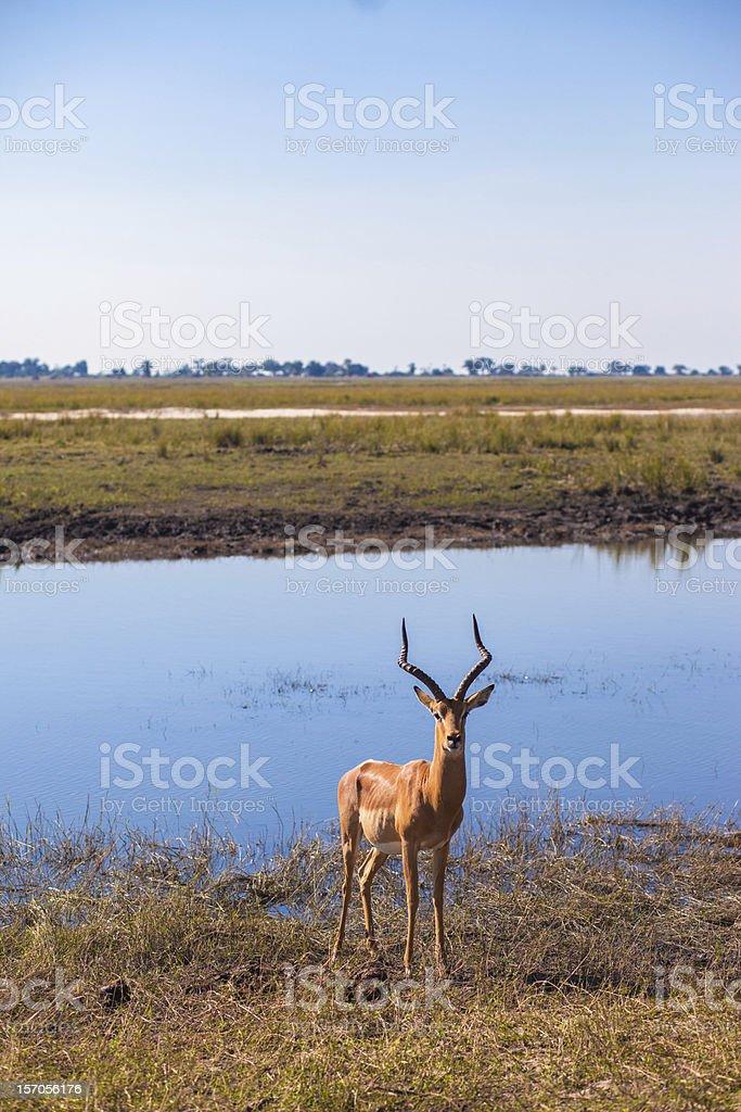 Impala (Aepyceros melampus) royalty-free stock photo