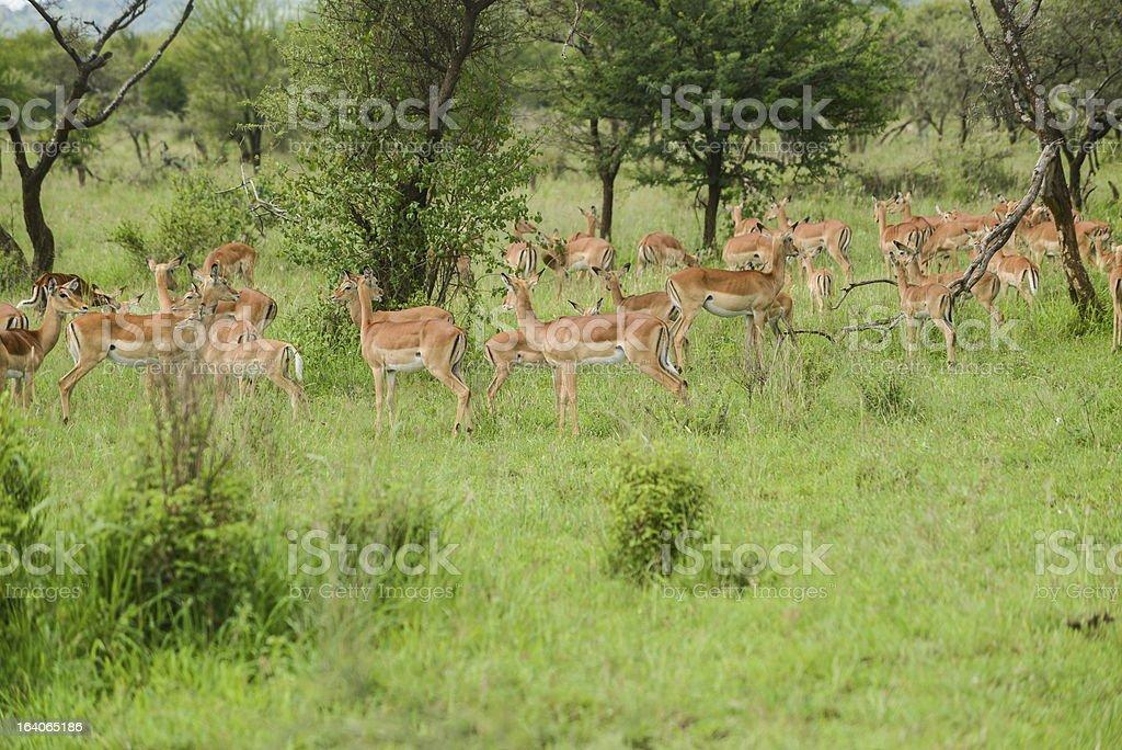 Impala royalty-free stock photo