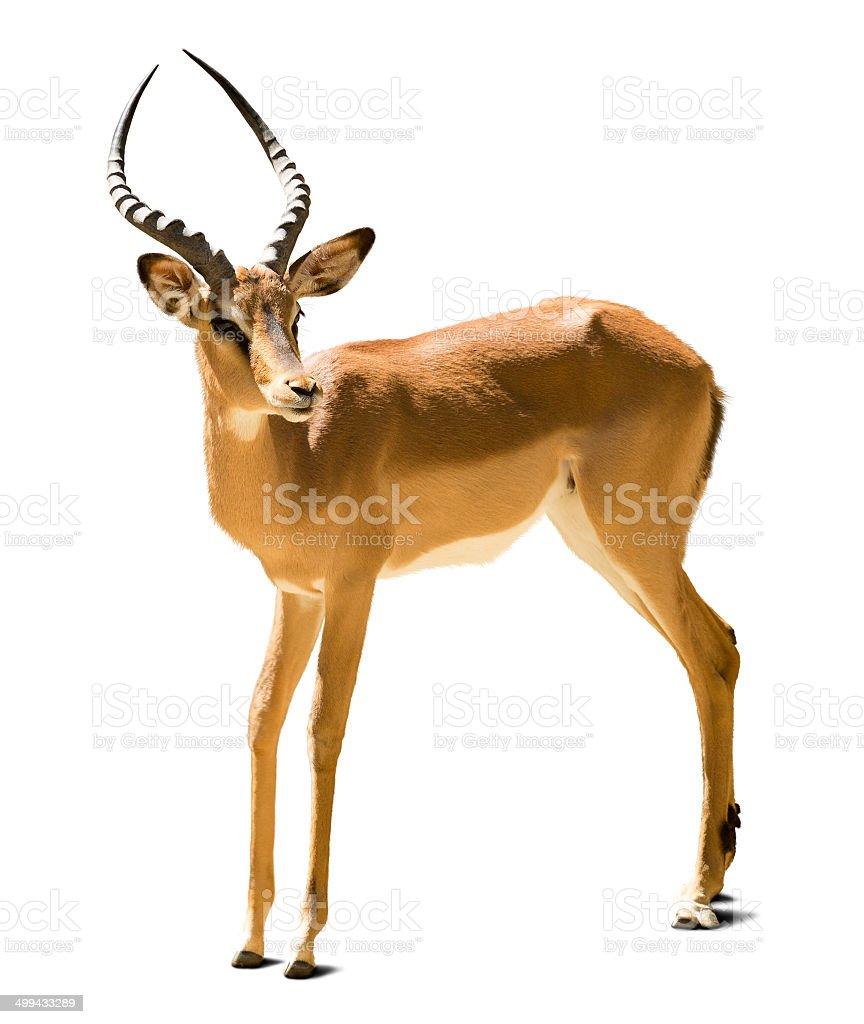 Impala stock photo