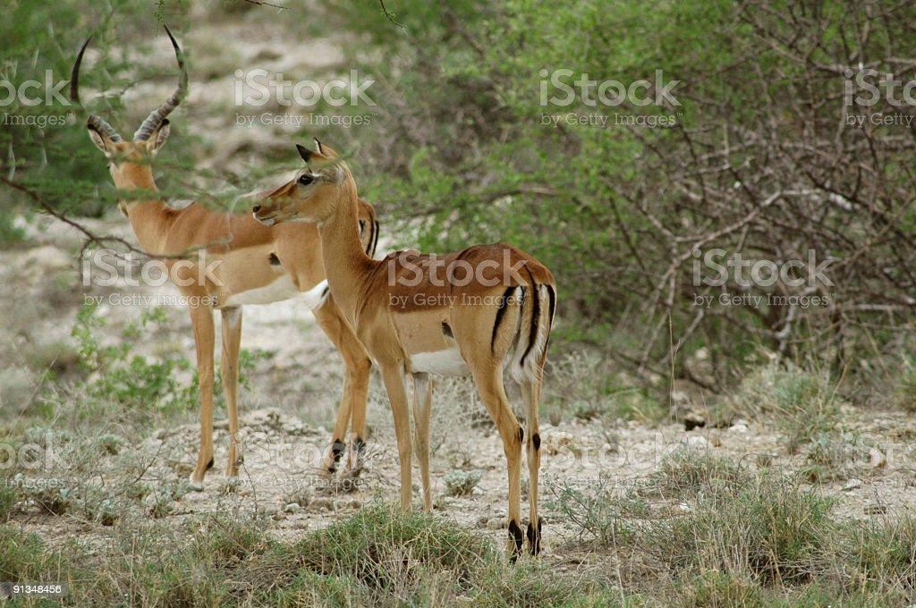 Impala foto de stock royalty-free