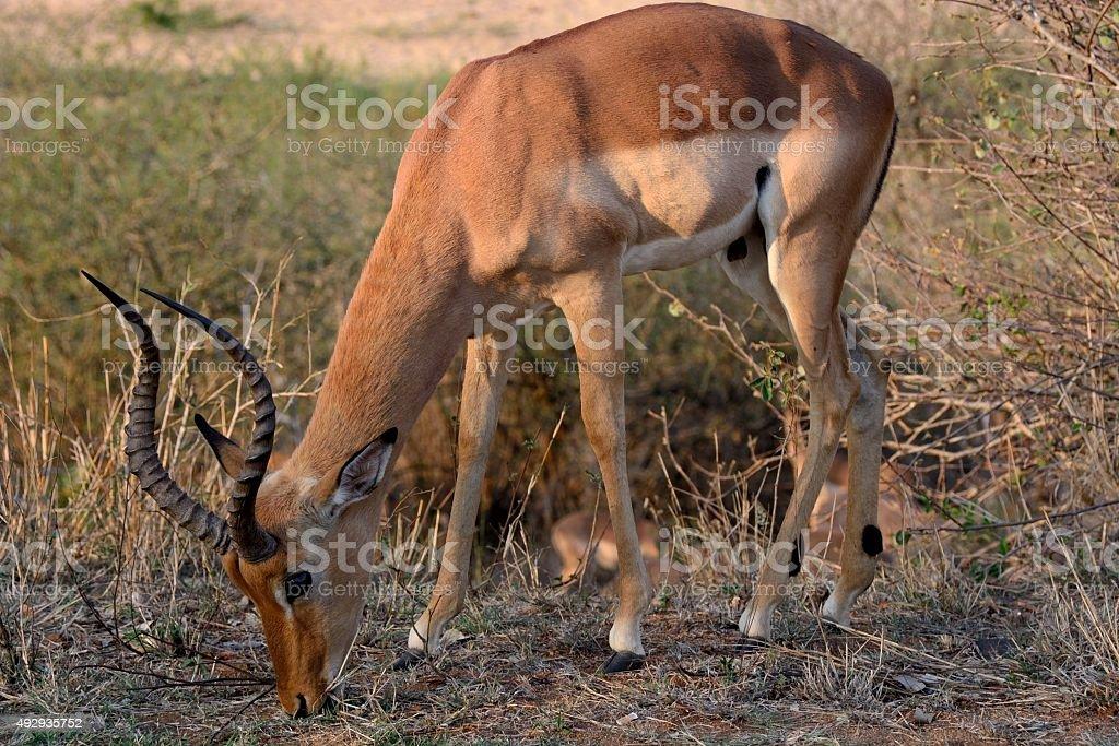 Impala ram grazing stock photo