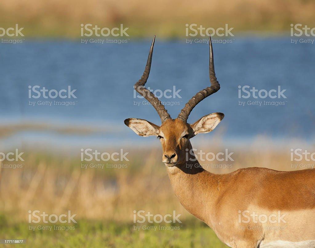 Impala pamięci Ram zbiór zdjęć royalty-free