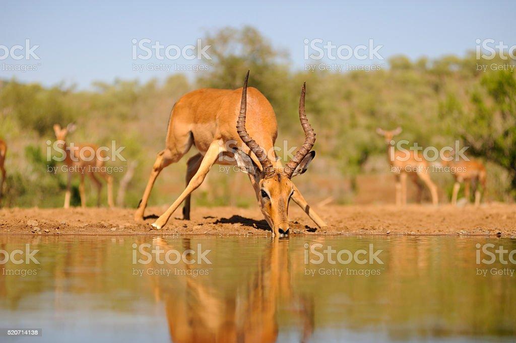Impala Ram stock photo