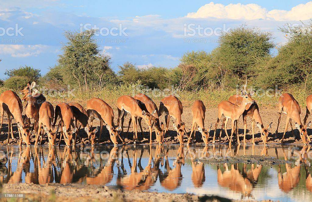 Impala - Reflections from Africa royalty-free stock photo
