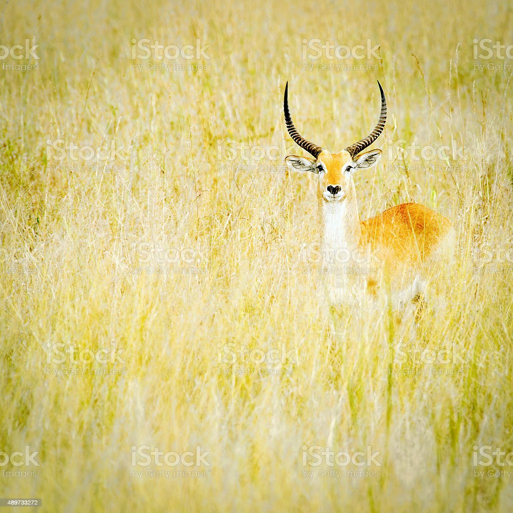 Impala standing  in the grasses and looking at the camera stock photo