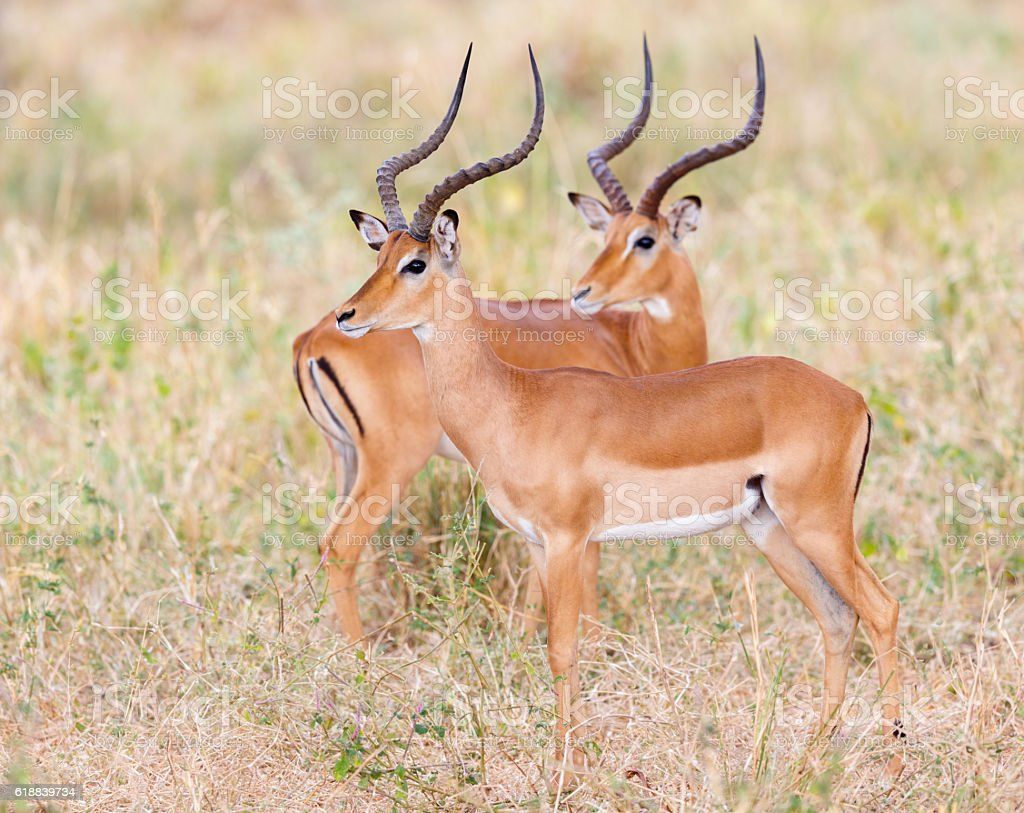 Impala, Tarangire National Park, Tanzania Africa stock photo