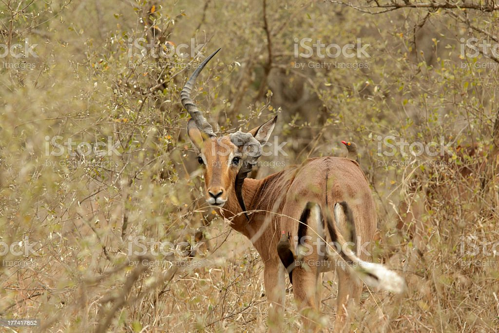Impala with deformed horn stock photo