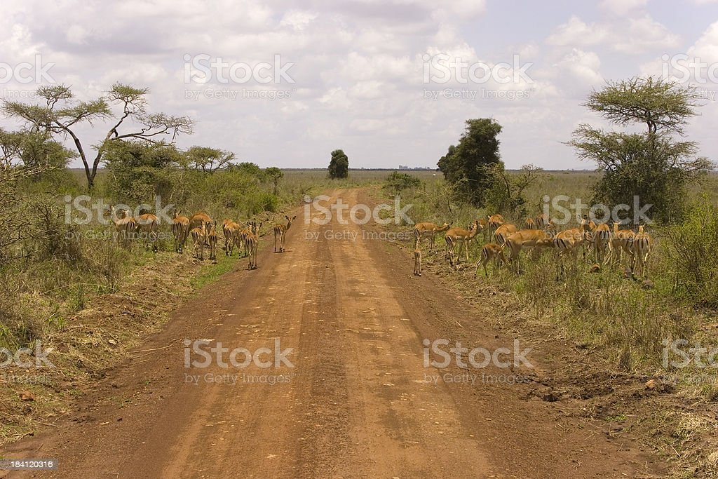 Impalas along the road spotted on a Safari stock photo