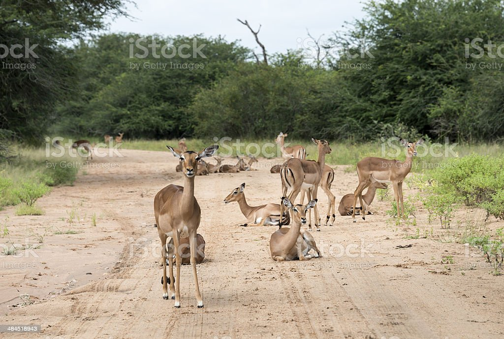 impalas on the road stock photo