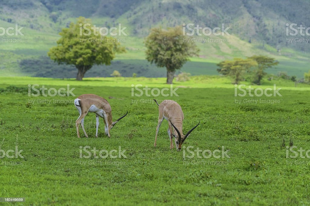 Impalas royalty-free stock photo