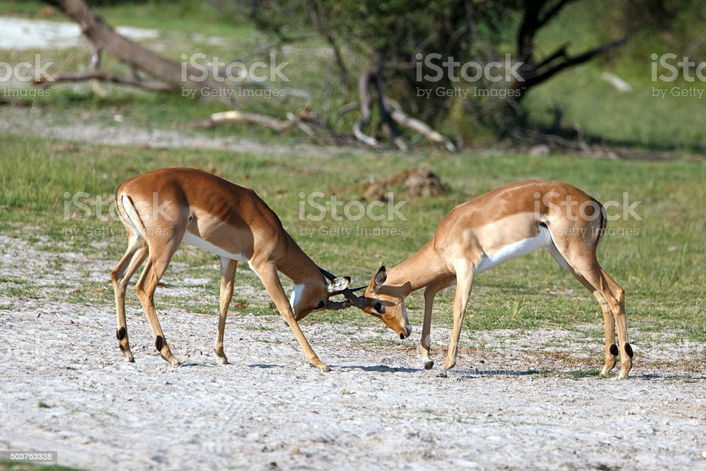 Impalas stock photo