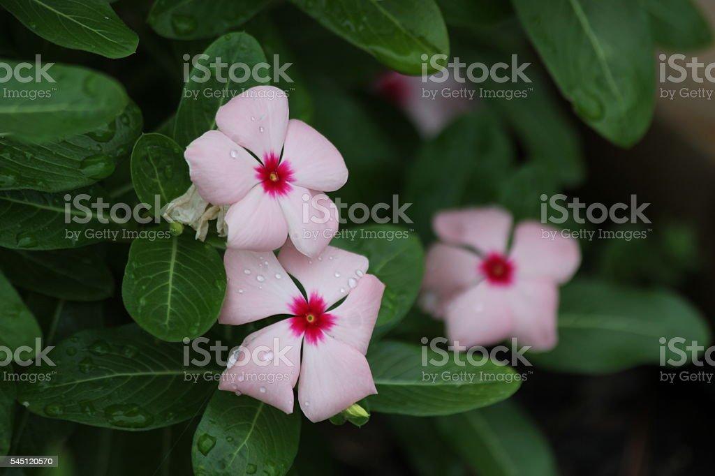 Impatien Flowers stock photo