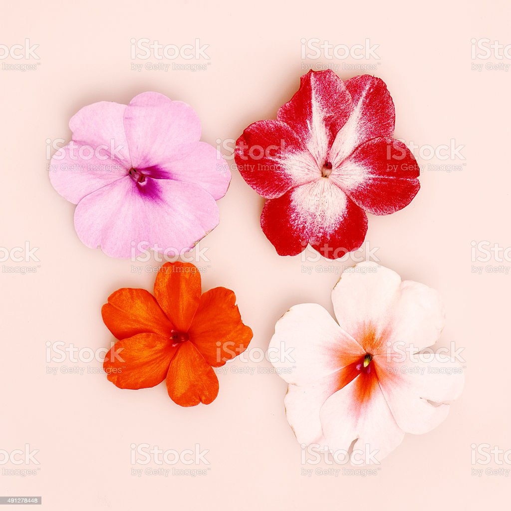 Impatiens flower head isolated on pink stock photo