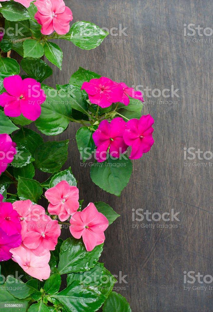 Impatiens flower on wooden background stock photo
