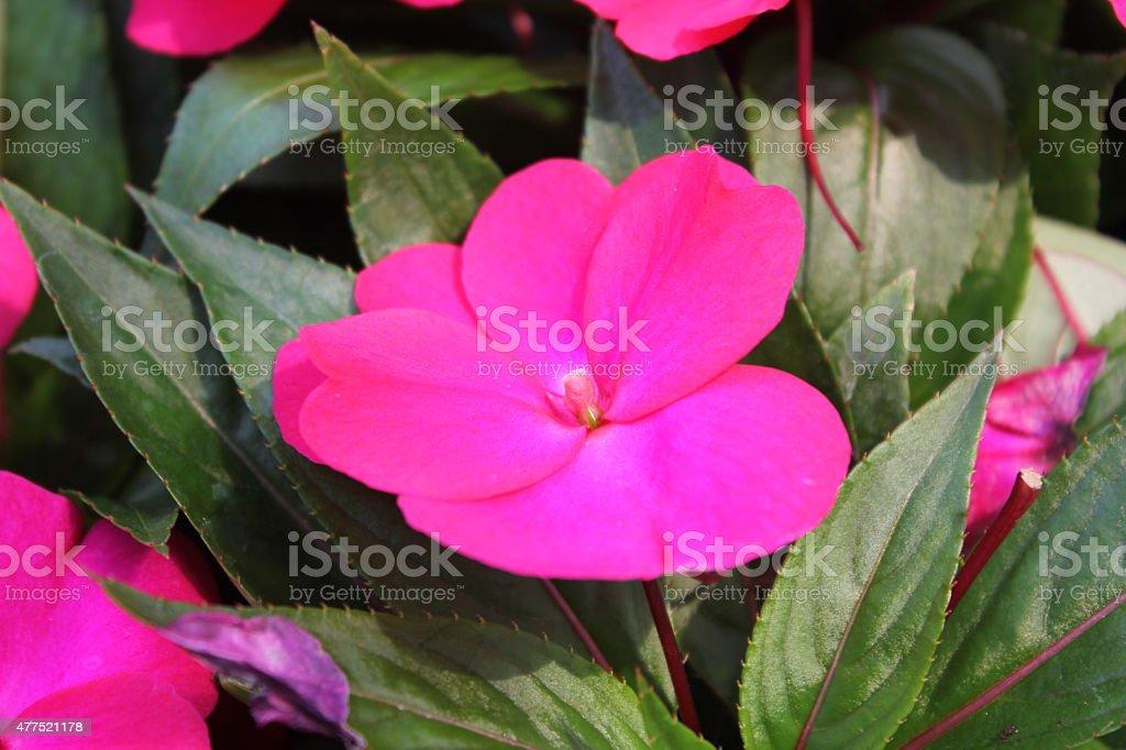 impatiens flower stock photo
