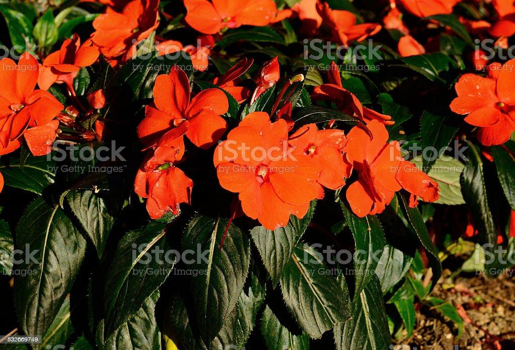 Impatiens flower (Impatiens psittacina) stock photo
