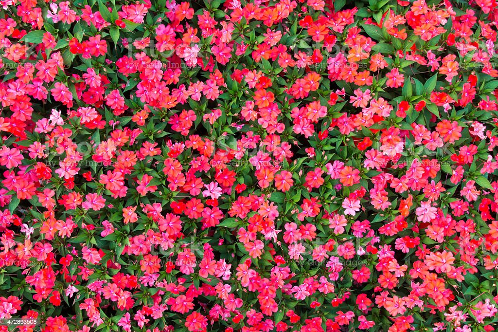 Impatiens flowers background stock photo