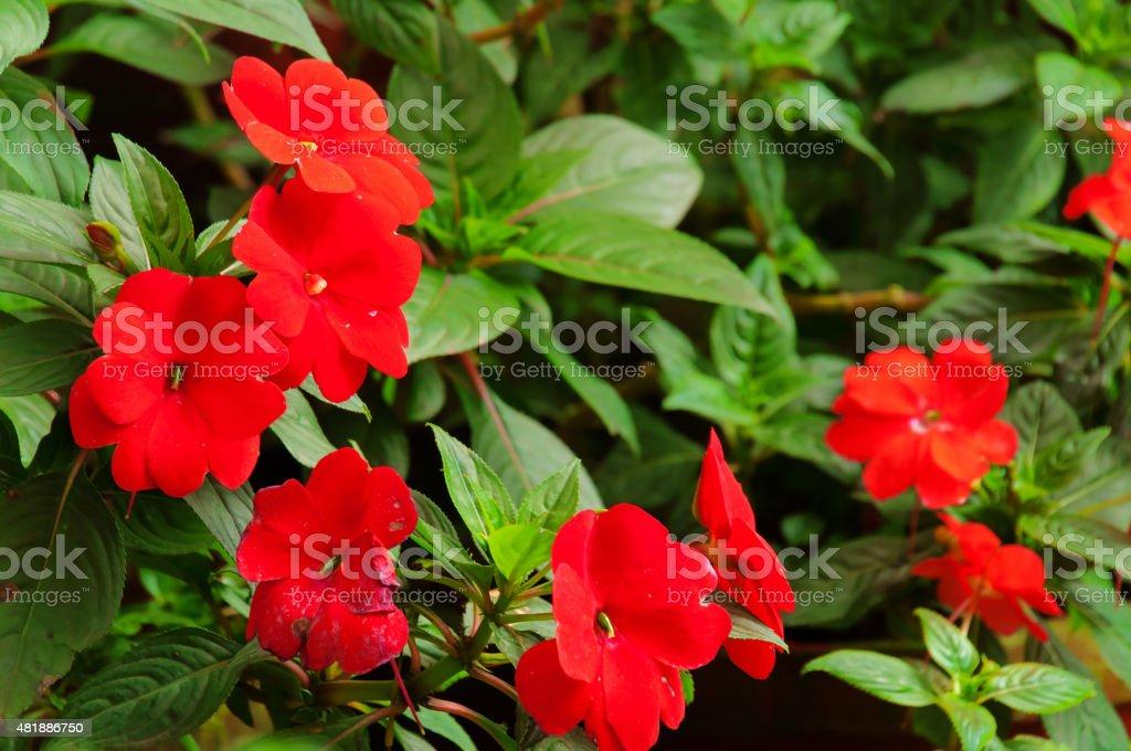 Impatiens flowers stock photo
