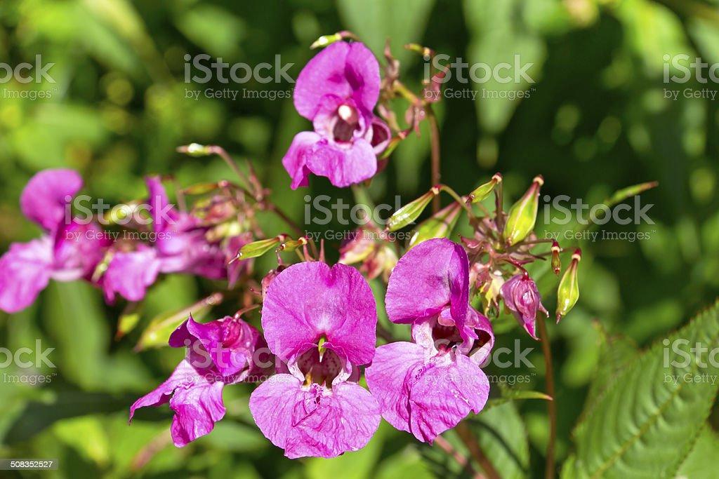 Impatiens glandulifera, Himalayan Balsam stock photo
