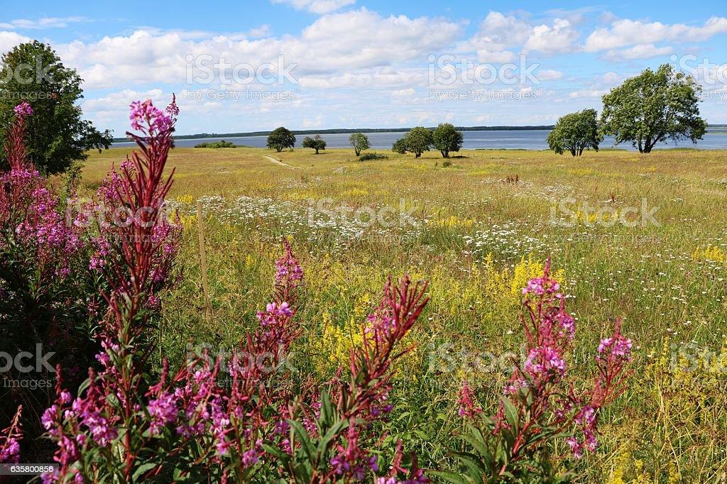 Impatiens glandulifera in natur reservat Hornborgasjöns in Sweden, Scandinavia stock photo
