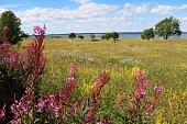 Impatiens glandulifera in natur reservat Hornborgasjöns in Sweden, Scandinavia