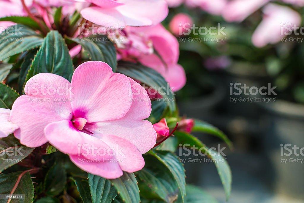 Impatiens hawkeri flowers in front of coleus plants stock photo