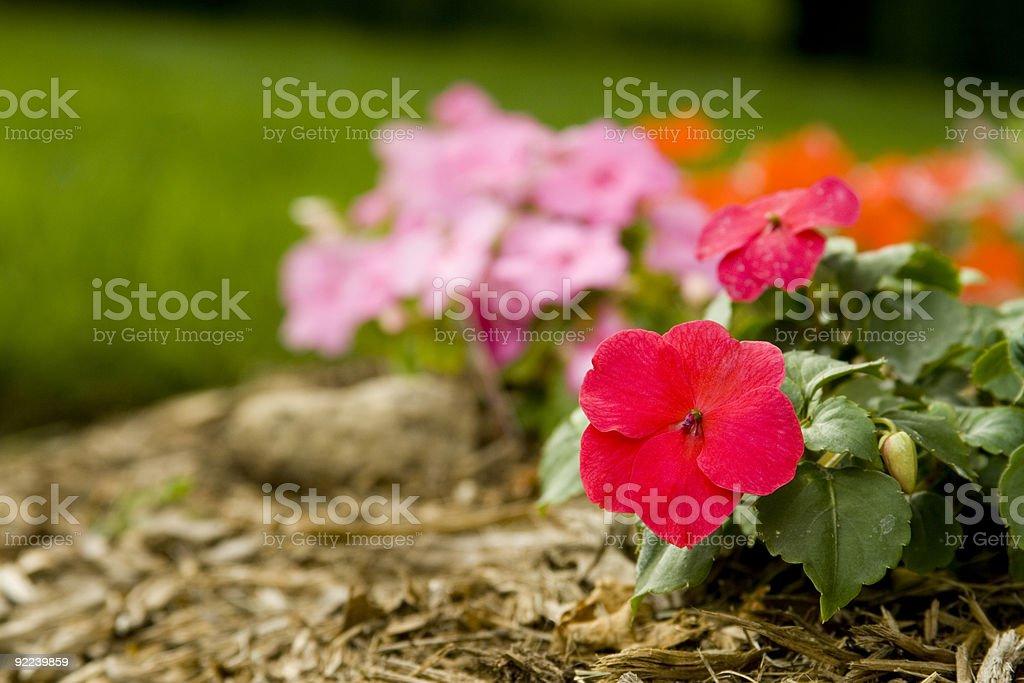 Impatiens in garden flower bed stock photo