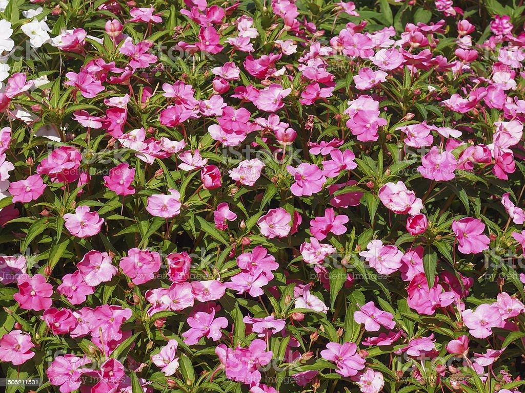 Impatiens New Guinea flower stock photo