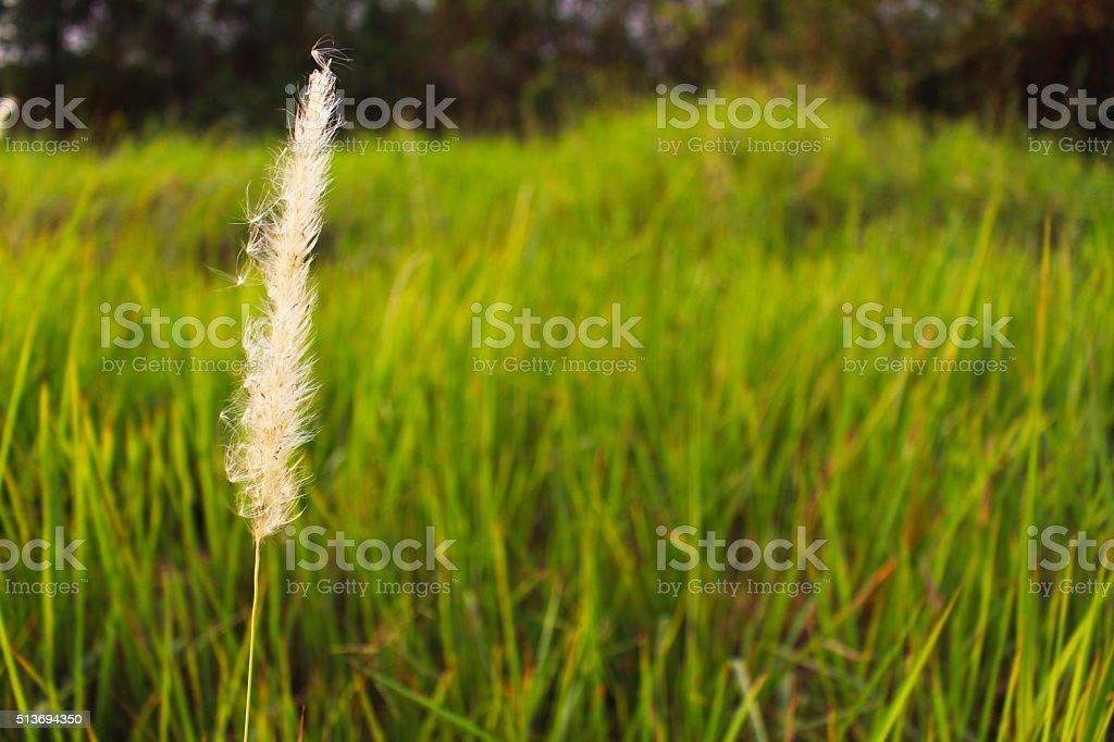 Imperata cylindrica Beauv flower stock photo