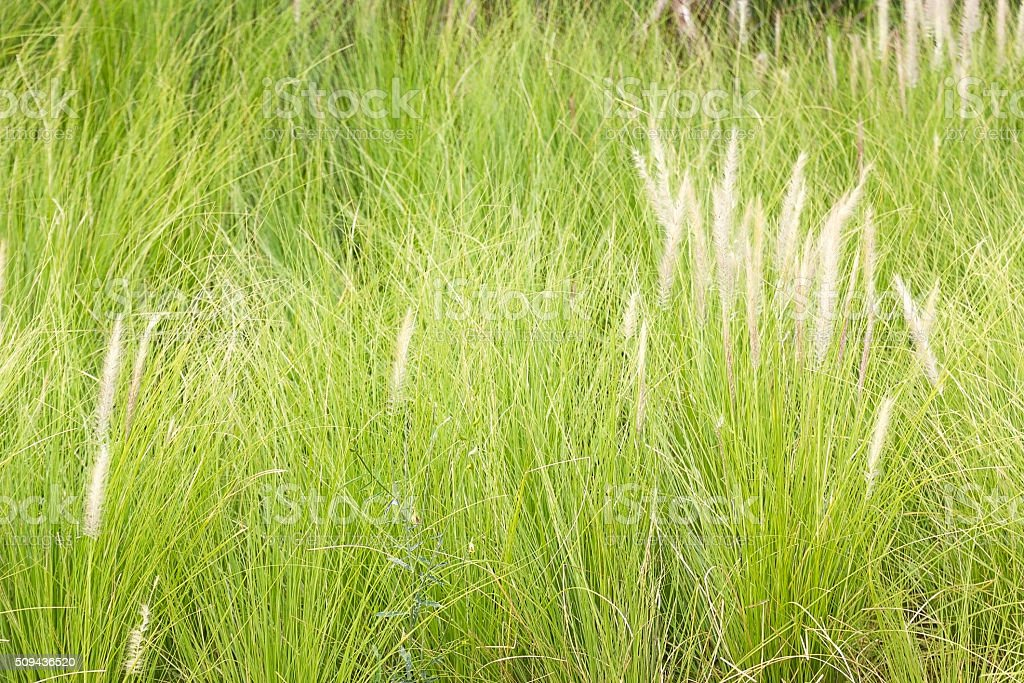 Imperata cylindrica Beauv of Feather grass in nature stock photo