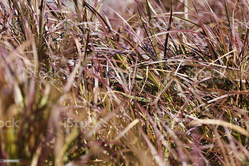Imperata cylindrica-tropical summer grass field stock photo