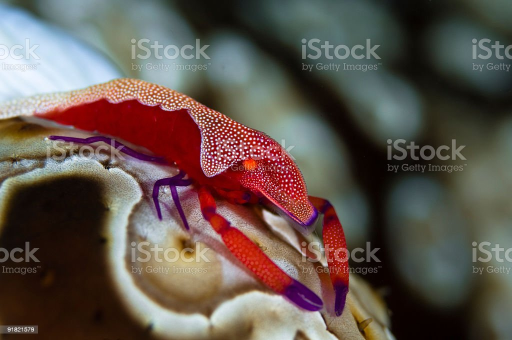 Imperator Commensal Shrimp, Fiji stock photo