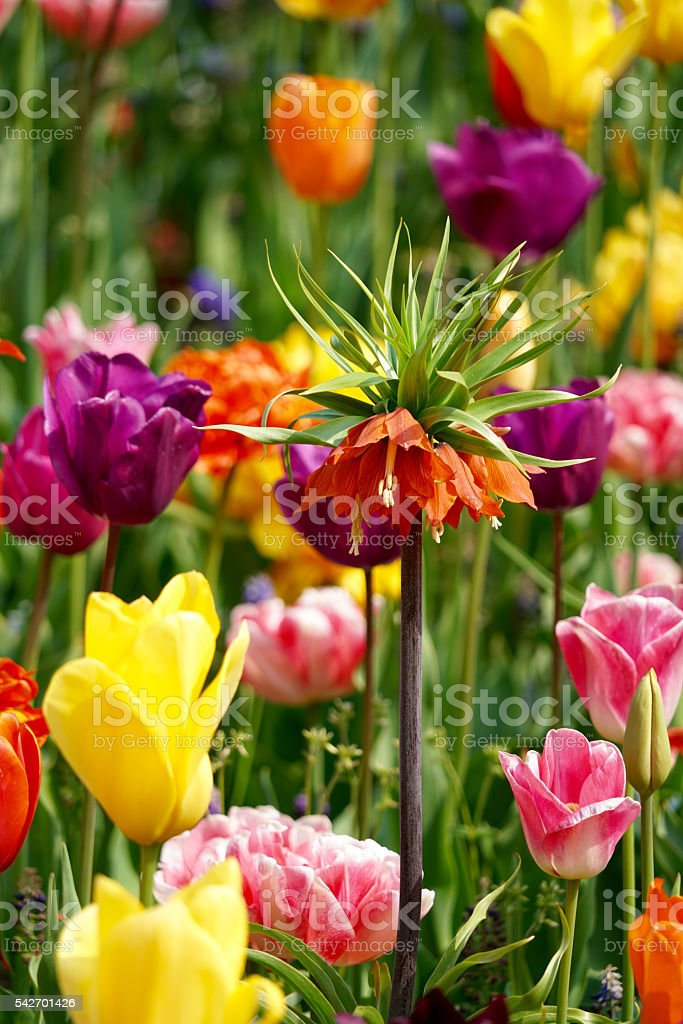 imperial fritillary with tulip background stock photo