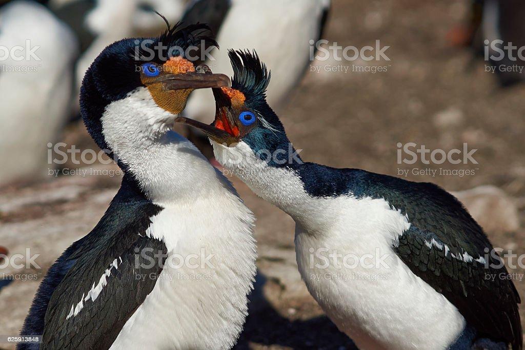 Imperial Shag (Phalacrocorax atriceps albiventer) stock photo