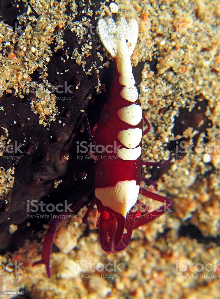 Imperial shrimp stock photo
