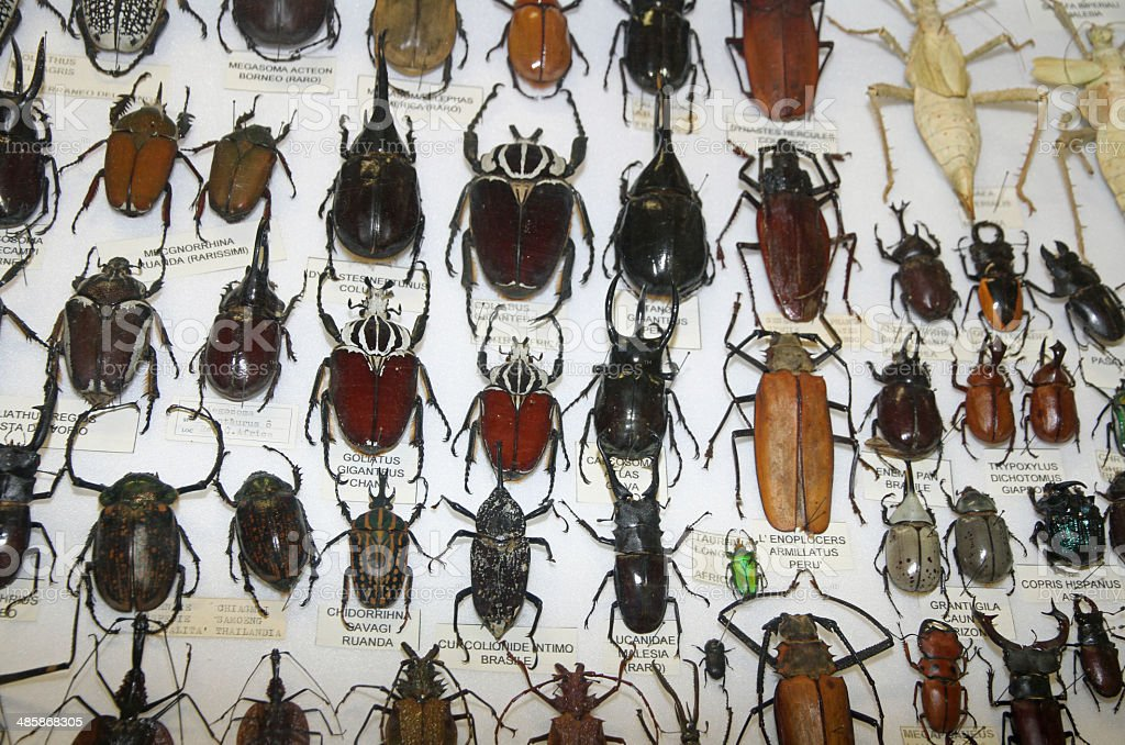 important collections of insects and beetles with Scarabs 3 stock photo