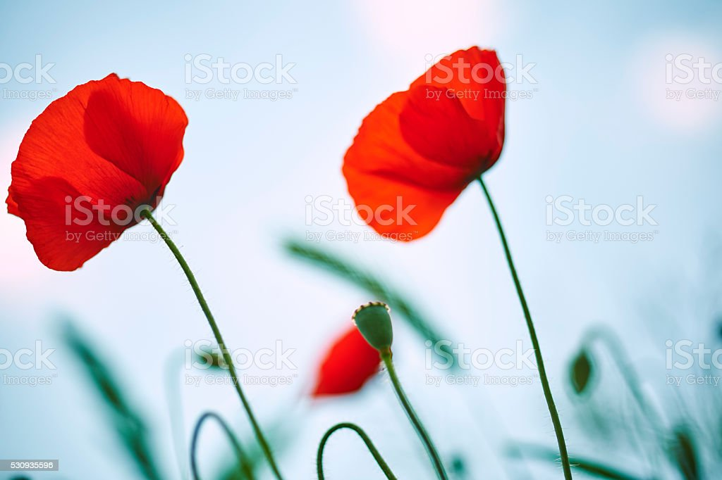 Impressionist Way Poppys.Color Image stock photo