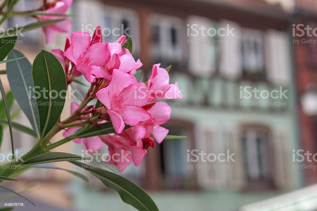 Impressions of the french city Strasbourg with pink oleander blossom stock photo