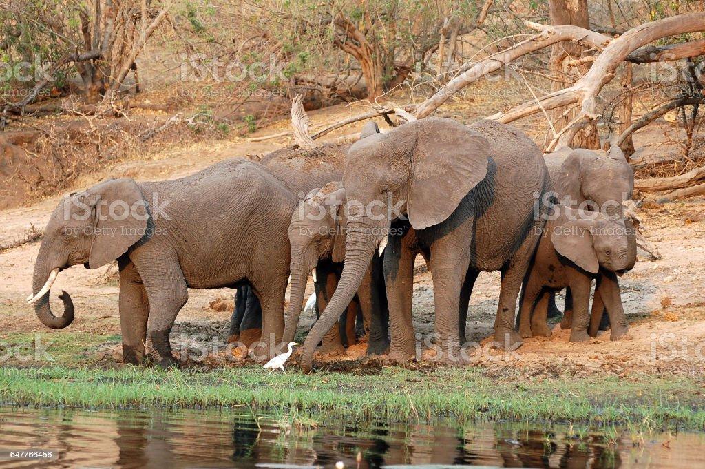 Impressive Elephant Family on a waterhole in Botswana stock photo