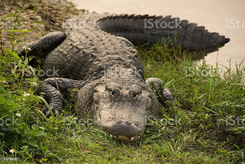 Impressive large alligator coming out of the water stock photo