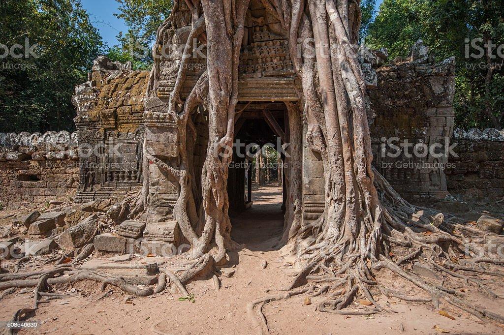 Impressive tree roots at Ta Som stock photo