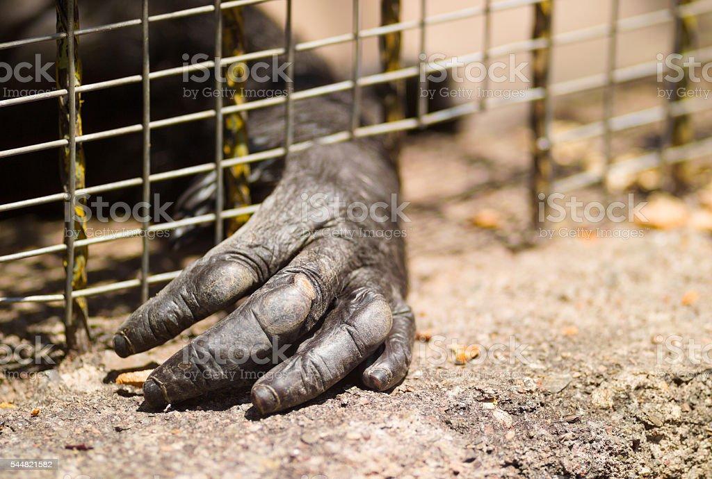 Imprisoned gorilla stock photo