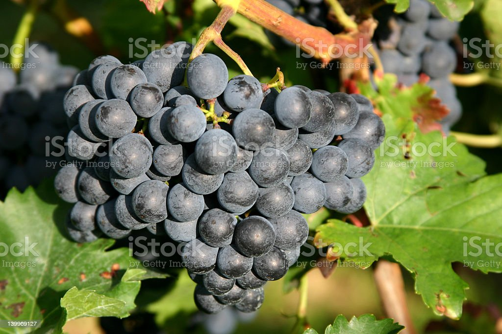 In a vineyard royalty-free stock photo