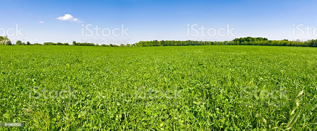 In clover field under blue skies stock photo