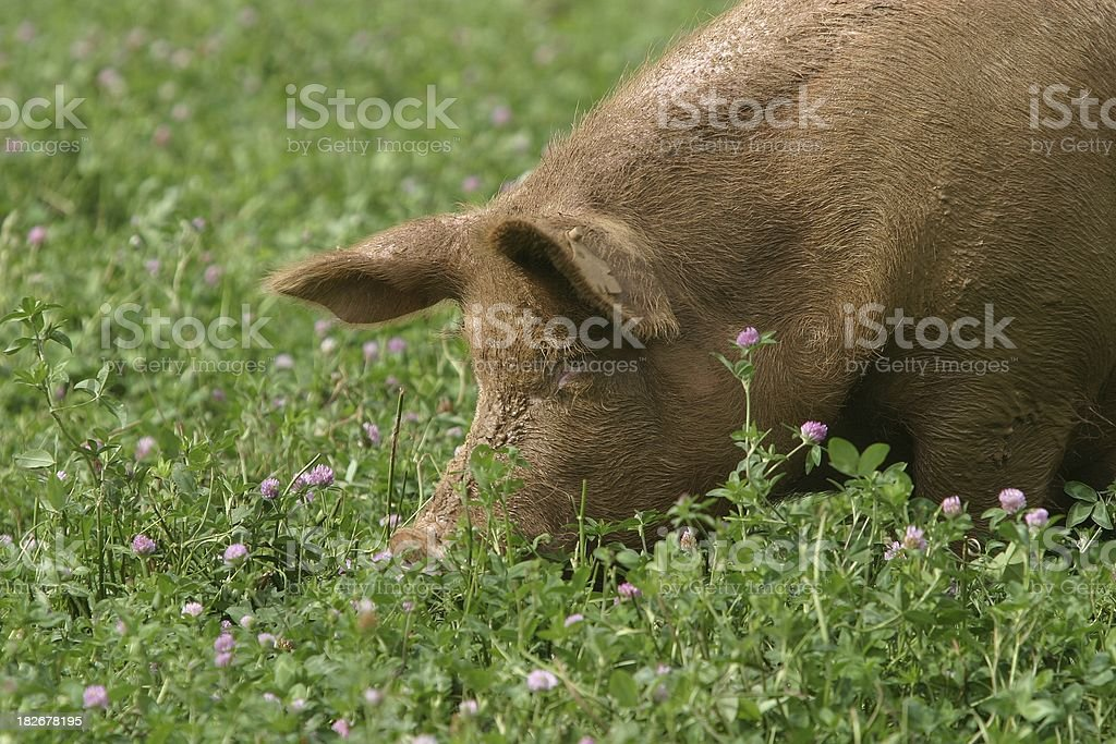 in Clover royalty-free stock photo