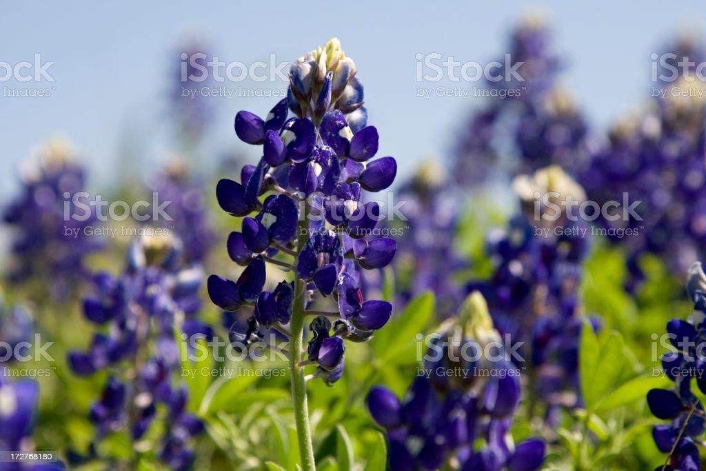 In focus shot of a pretty bluebonnet in a field stock photo