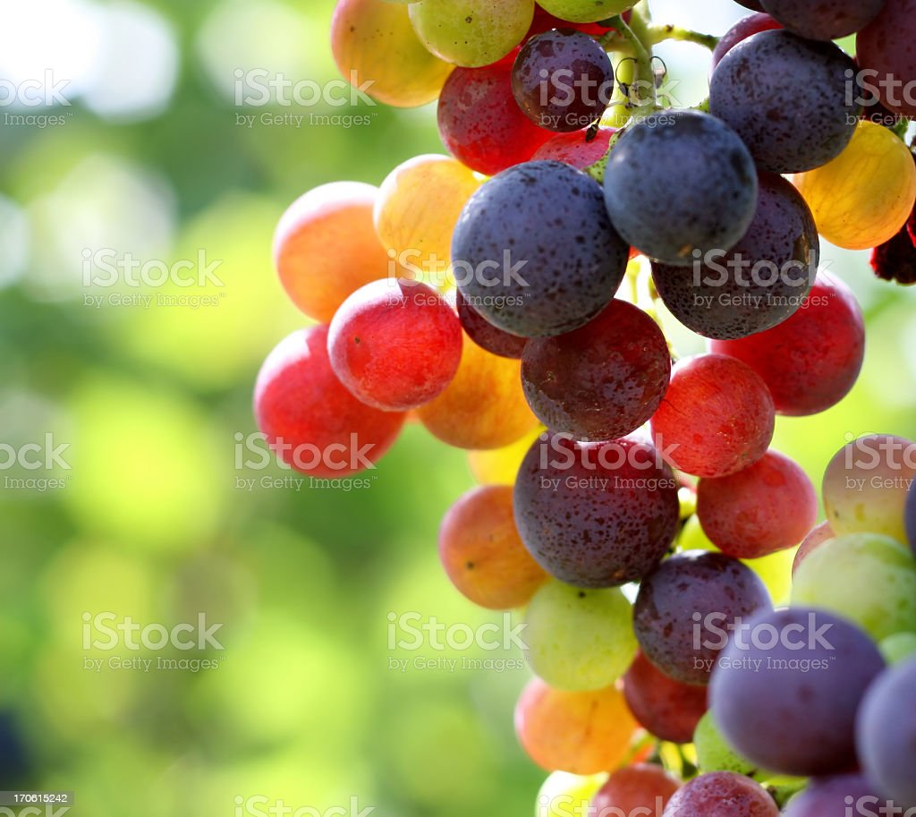 In focus shot of ripe grapes in a vineyard stock photo