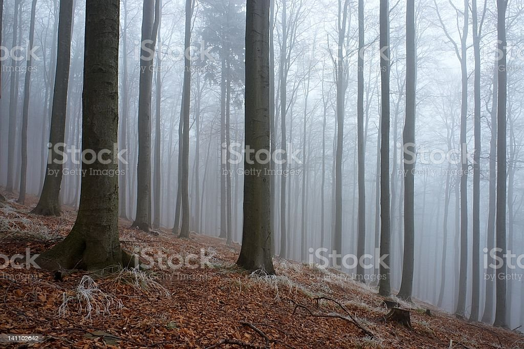 In frosty beechwood royalty-free stock photo