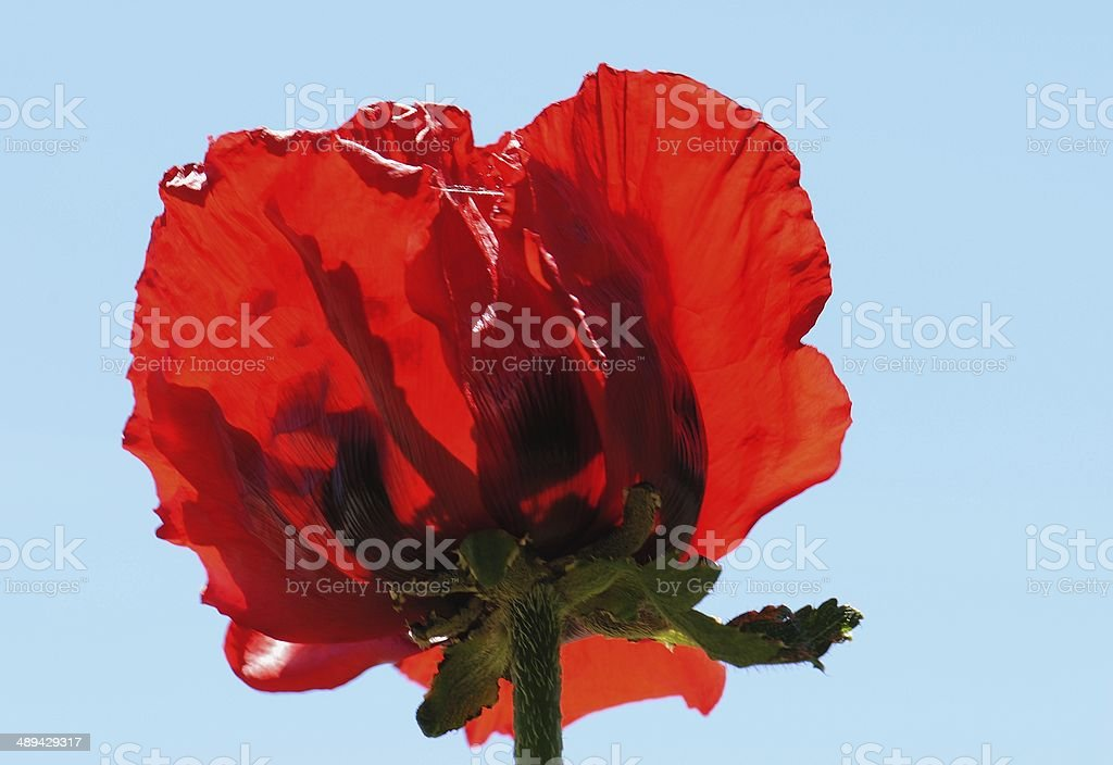 In Full Bloom royalty-free stock photo