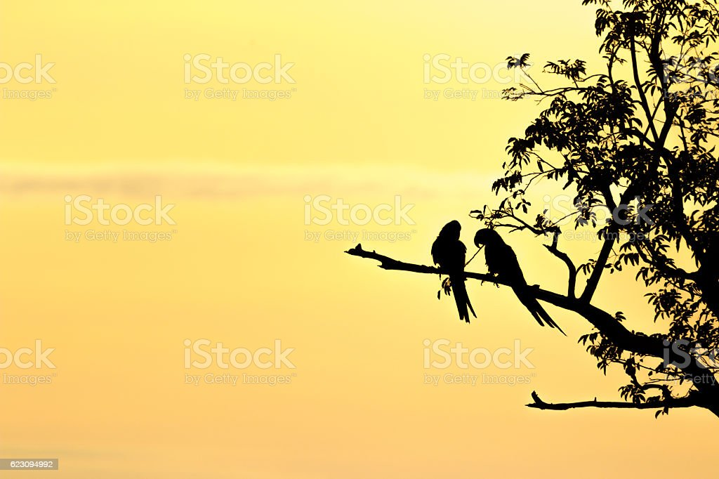 In love hyacinth macaws in a tree during sunset in the pantanal stock photo